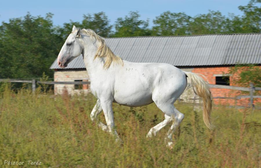 Lipizzaner Stallion - Stock 66 by Hikari-kirin