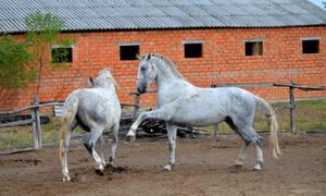 Lipizzaner Stallion - Stock 67