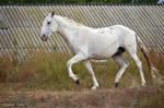 Lipizzaner Stallion - Stock 72