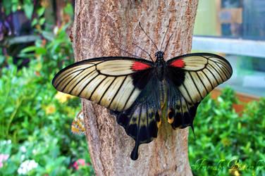 Butterfly by FriendlyButterfly