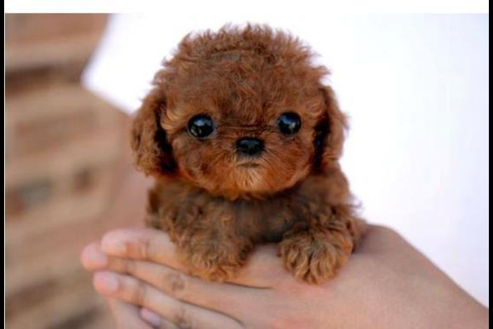 Teacup Poodle by cherie1992 on DeviantArt