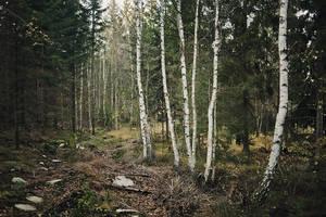Birch Woods by Freggoboy