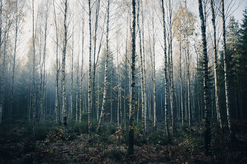 Birch Woods IV by Freggoboy