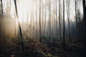 Birch Woods V by Freggoboy