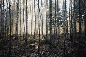 Birch Woods VII by Freggoboy