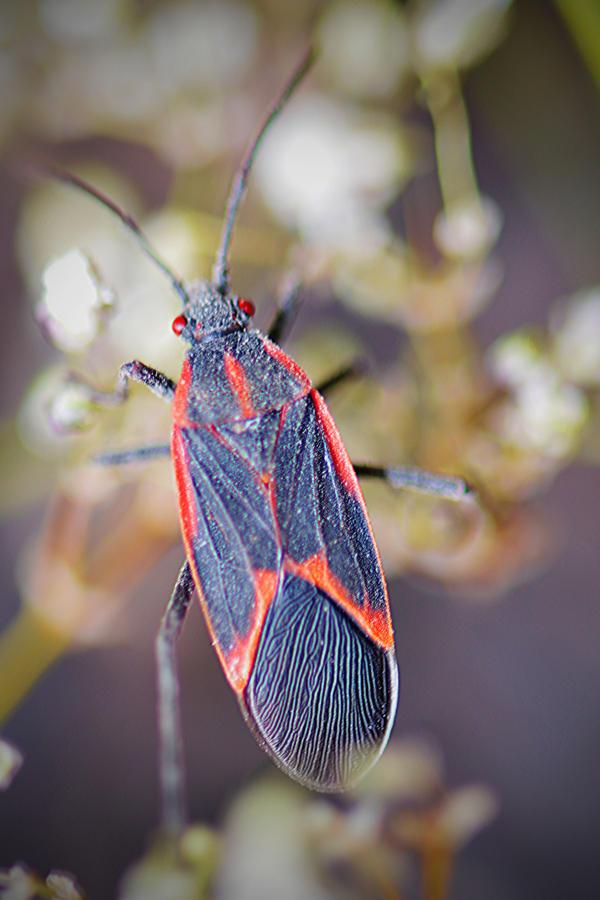 Rhopalidae by Catandhearts