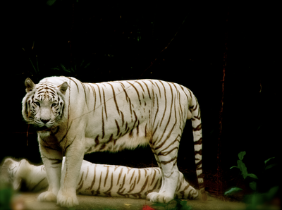 White tiger by nelly323