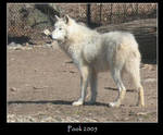 white wolf photo by Pookchan
