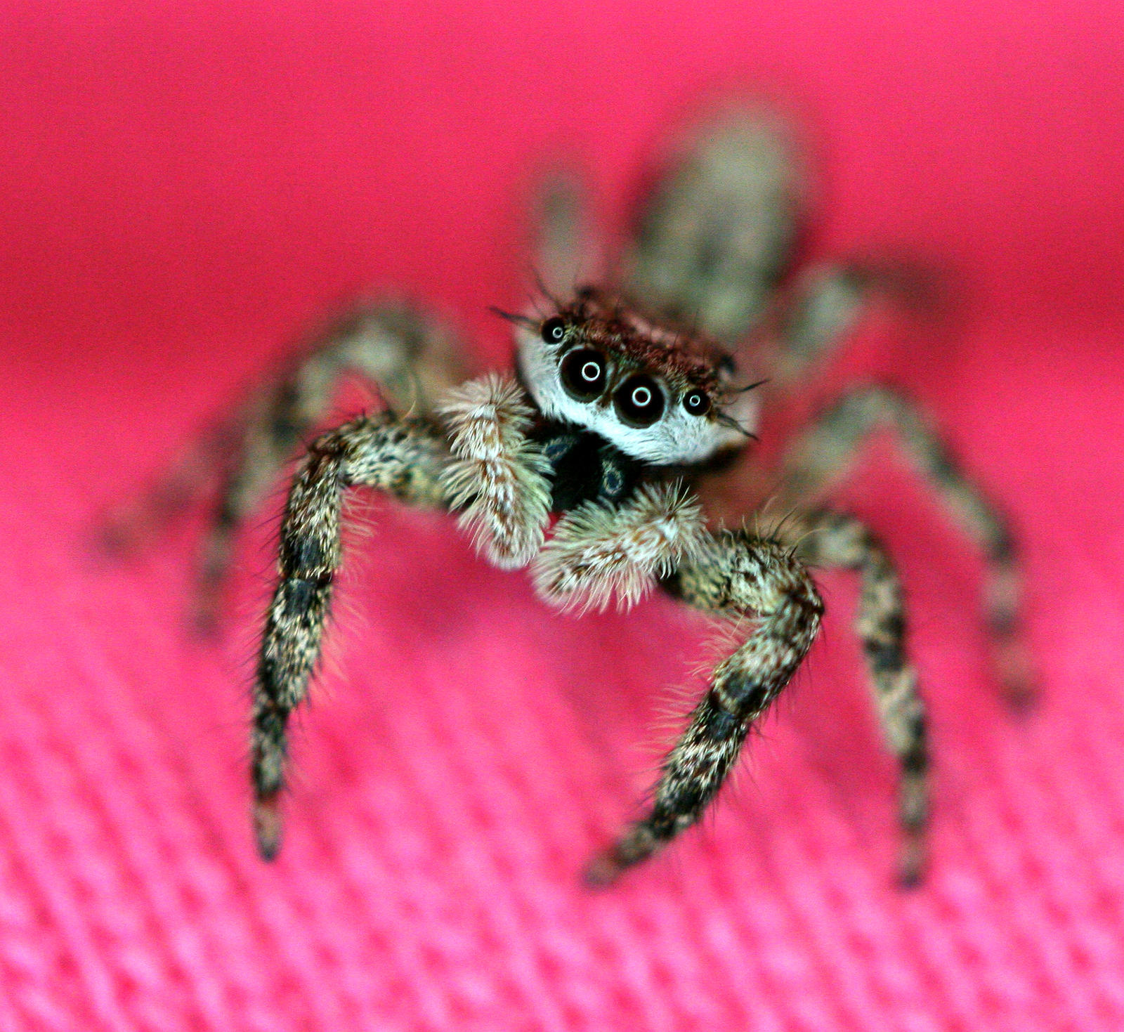 Jumper on Pink 2 - Salticidae by WanderingMogwai