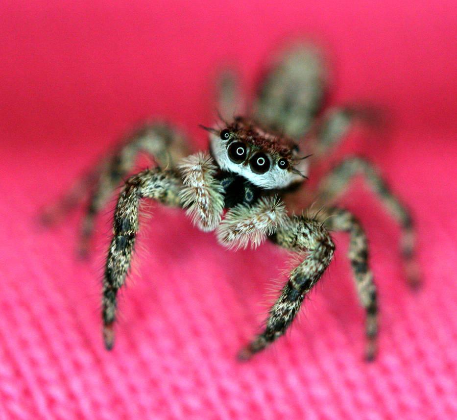 Jumper on Pink 2 - Salticidae by WanderingMogwai