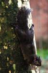 Black Squirrel (Sciurus carolinensis)