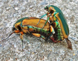 Green June Beetle (Cotinis nitida)