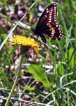 Black Swallowtail ...Papilio polyxenes