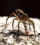 Thin Legged Wolf Spider and Friend