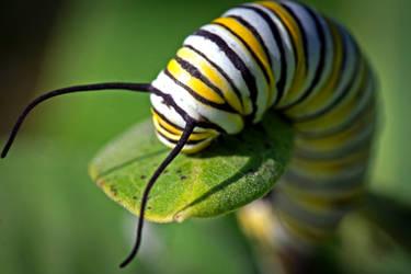 Monarch Butterfly Caterpillar by WanderingMogwai