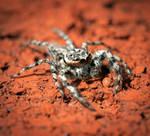 Tan Jumping Spider - Platycryptus undatus