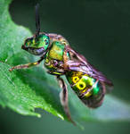 The Metallic Green Bee - Augochloropsis metallica