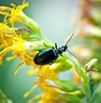 Colorful Ground Beetle - Lebia viridis