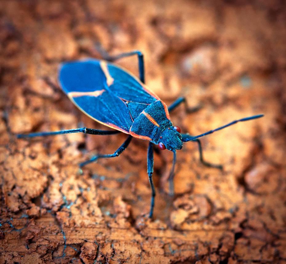 Boxelder Bug - Boisea trivittata by WanderingMogwai