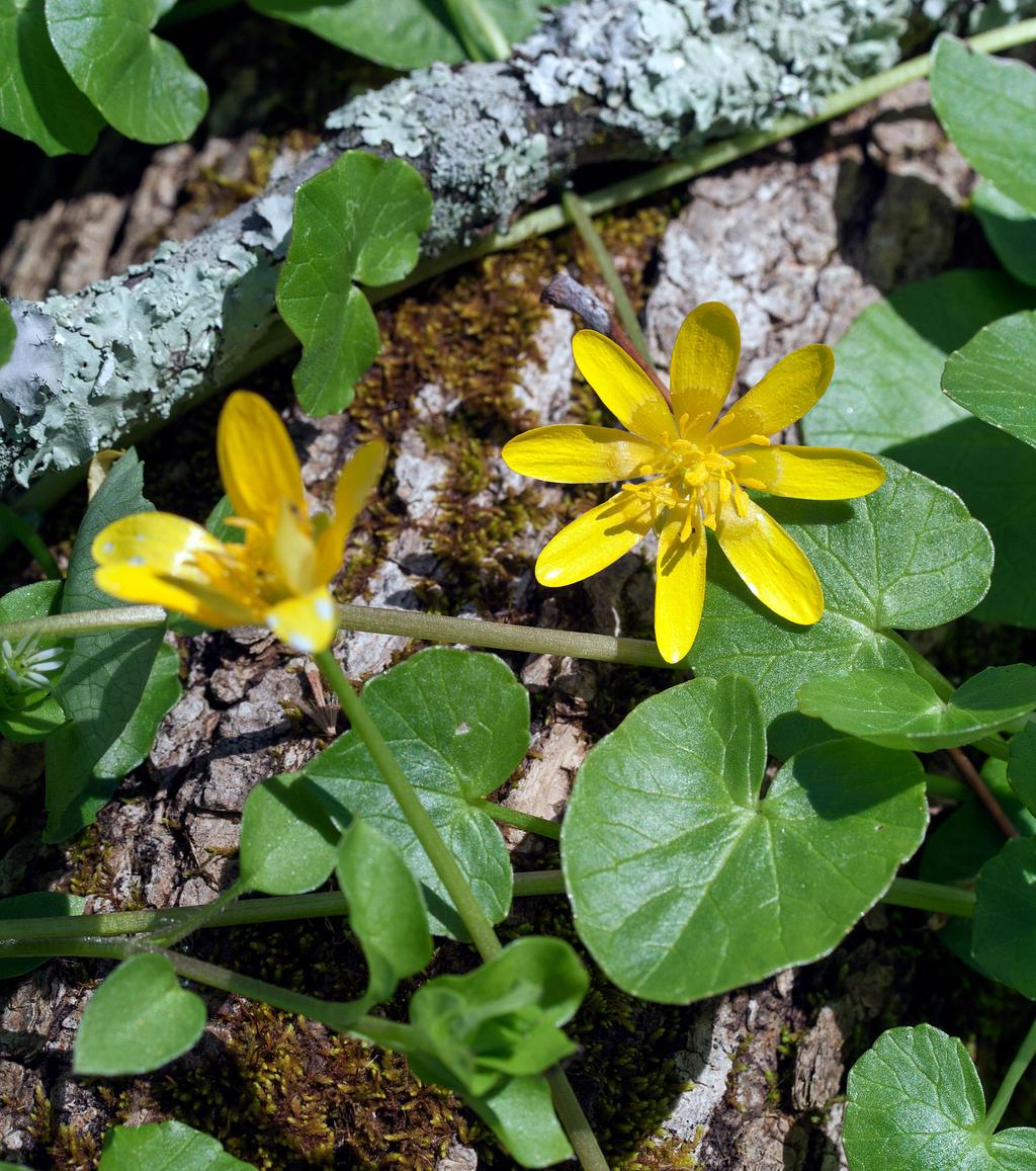 Marsh Marigold - Caltha palustris by WanderingMogwai on ...