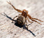 Ground Crab Spider (Xysticus)