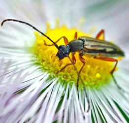 Long-horned Beetle - Analeptura lineola by WanderingMogwai