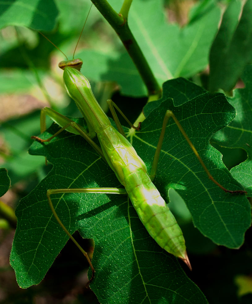 Immature Praying Mantis  by WanderingMogwai