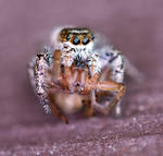 Jumper Eating  Spider