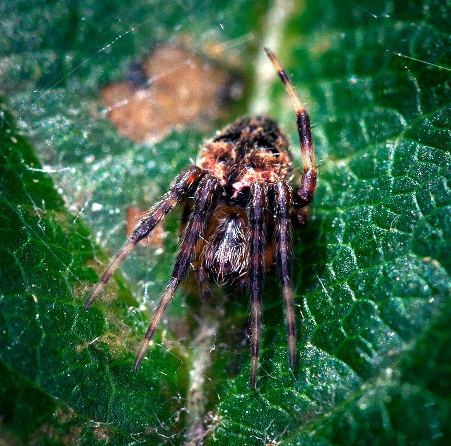 Young Orbweaver Spider  by WanderingMogwai