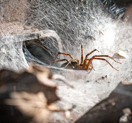 Grass-funnel Web Weaver Spider