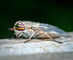 Horsefly by WanderingMogwai