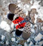 Late Season Lanternfly - 10.03.18