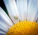 Crab Spider, Flower - 10.05.18  by WanderingMogwai