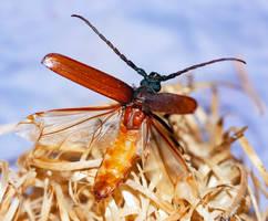 Longhorn Beetle #1 - 07.12.19