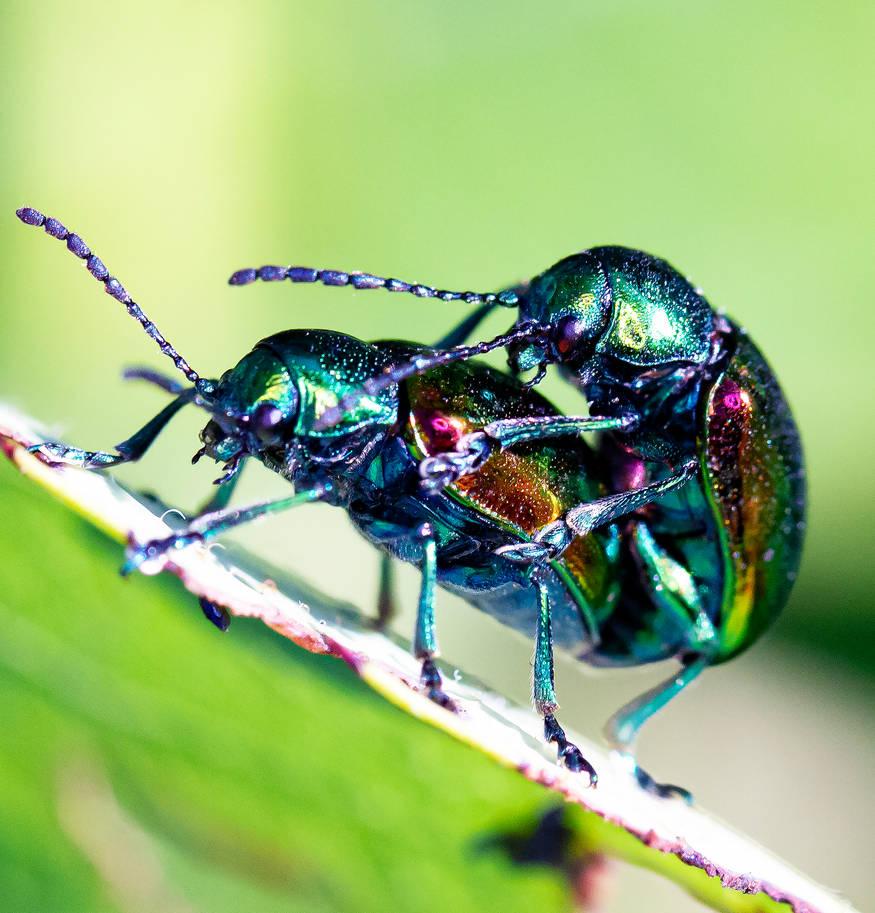 Coupled Dogbane Leaf Beetles - 07.14.20