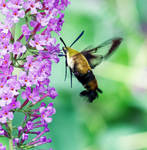 Snowbery Clearwing - 08.29.20