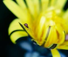 Spider On Dandelion - 05.03.21