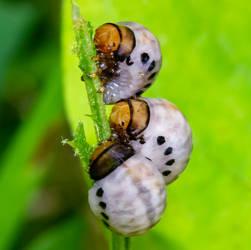 Leaf Beetle Grubs (Chrysomelidae spp.)
