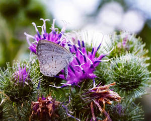 Summer Azure Butterfly in Thistle