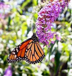 Monarch Butterfly - 07.30.21