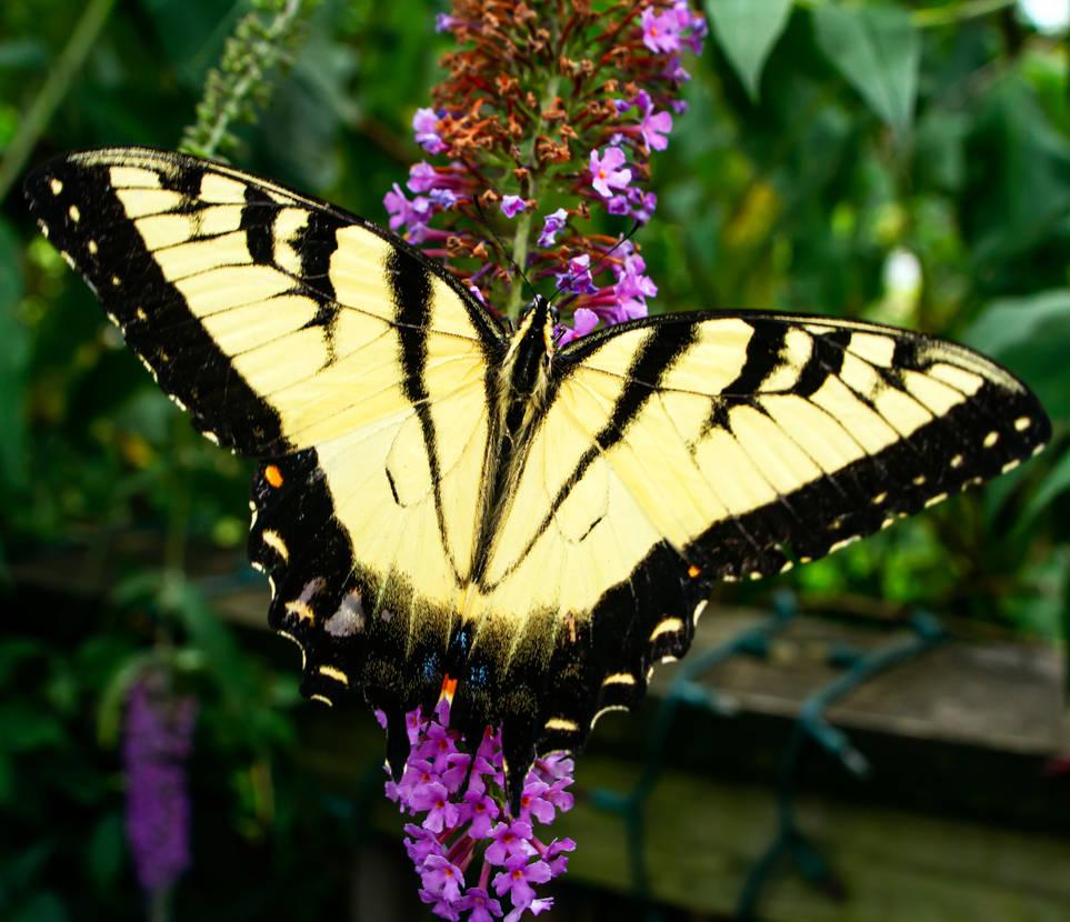 Battered Tiger Swallowtail - 08.03.21