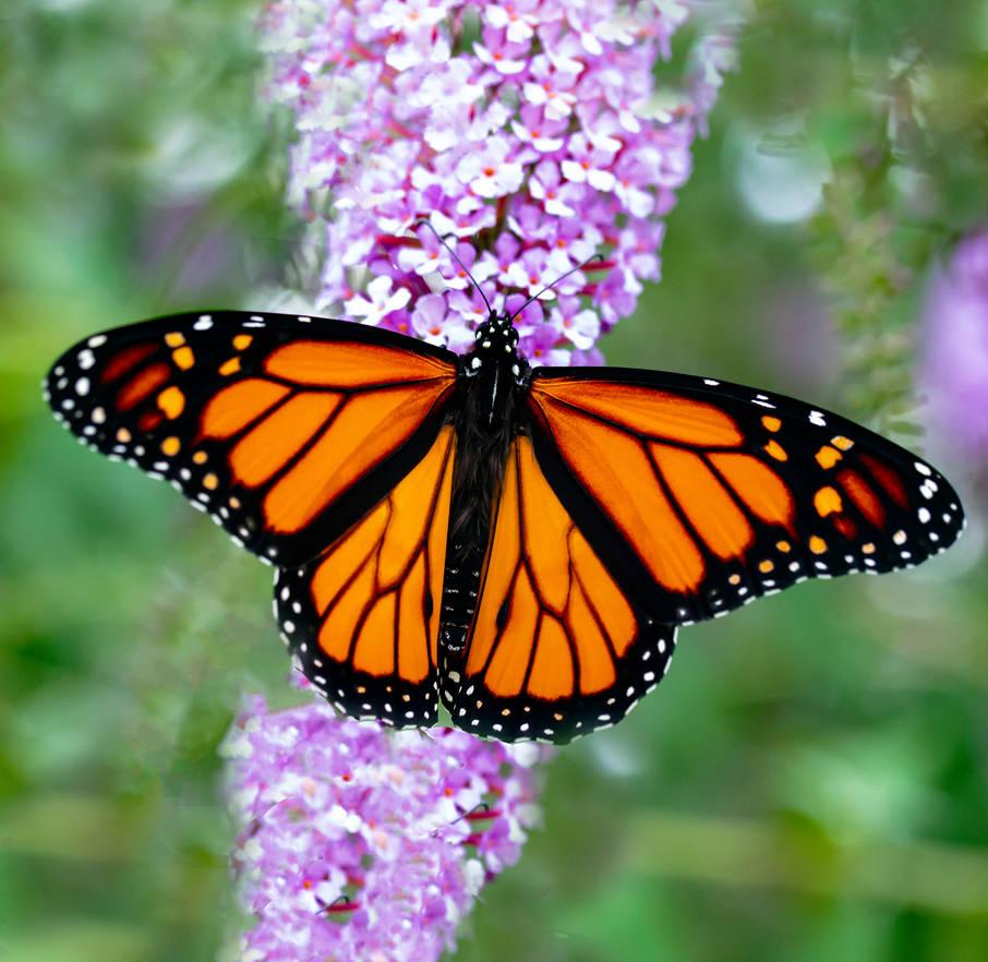 Spread Male Monarch - 08.16.21