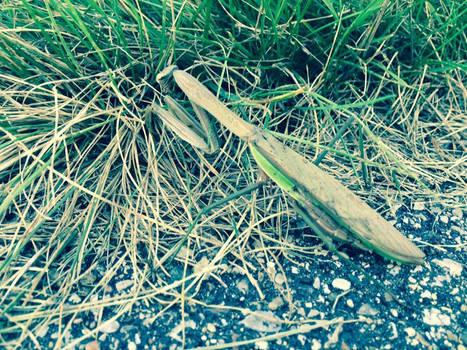Praying Mantis on the Trail