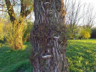 Old tree with mushrooms by FeatherAmbara