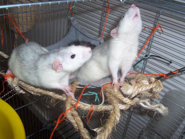 Les ratous ! Boys_by_Lowf