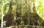 Ceiba-samauma by Brissinge