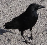 Raven 01 :: Stock