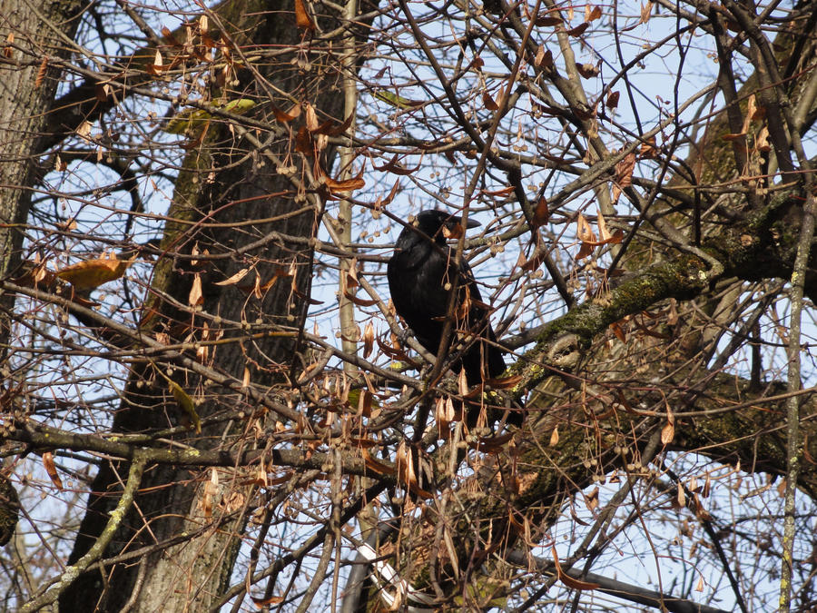 Raven in the tree 01 :: Stock