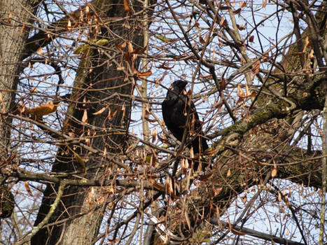Raven in the tree 02 :: Stock