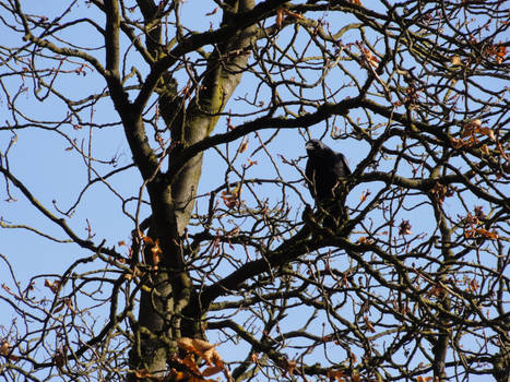 Raven in the tree 03 :: Stock